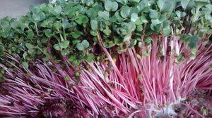 ky thuat trong va cham soc cay rau mam sach 10 - Kỹ thuật trồng và chăm sóc cây rau mầm sạch