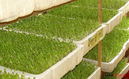 ky thuat trong va cham soc cay rau mam sach 6 - Kỹ thuật trồng và chăm sóc cây rau mầm sạch