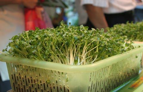 ky thuat trong va cham soc cay rau mam sach 8 - Kỹ thuật trồng và chăm sóc cây rau mầm sạch