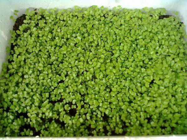ky thuat trong va cham soc cay rau mam sach 9 - Kỹ thuật trồng và chăm sóc cây rau mầm sạch
