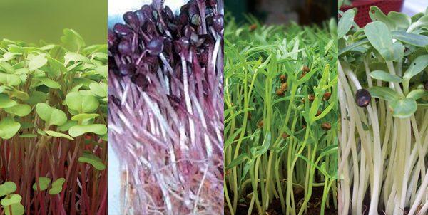 ky thuat trong va cham soc cay rau mam sach - Kỹ thuật trồng và chăm sóc cây rau mầm sạch