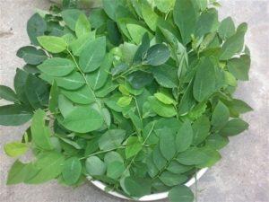 ky thuat trong va cham soc cay rau ngot trong vuon 3 - Kỹ thuật trồng và chăm sóc cây rau ngót trong vườn