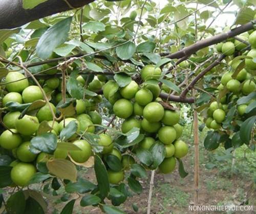ky thuat trong va cham soc cay tao dung cach - Kỹ thuật trồng và chăm sóc cây táo đúng cách