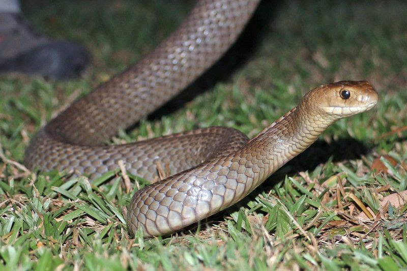 loai ran nao doc nhat the gioi 2 - Loài rắn nào độc nhất thế giới?