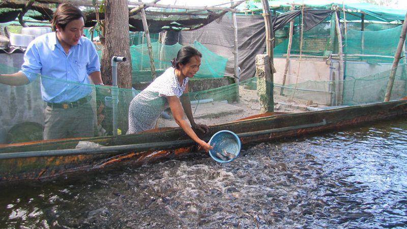 mo hinh nuoi ca loc ky thuat nuoi ca loc trong be xi mang 1 - Mô hình nuôi cá lóc. Kỹ thuật nuôi cá lóc trong bể xi măng