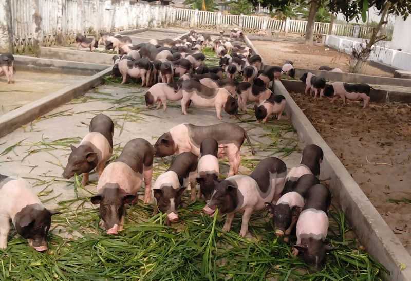 mua lon giong o dau cac trang trai ban lon giong bac trung nam - Mua lợn giống ở đâu? Các trang trại bán lợn giống Bắc, Trung, Nam