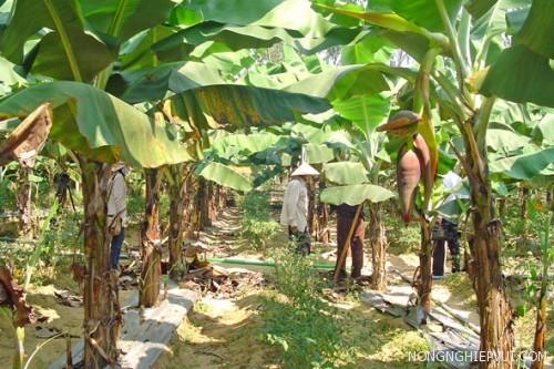 phuong phap gieo trong cay chuoi - Phương pháp gieo trồng cây chuối