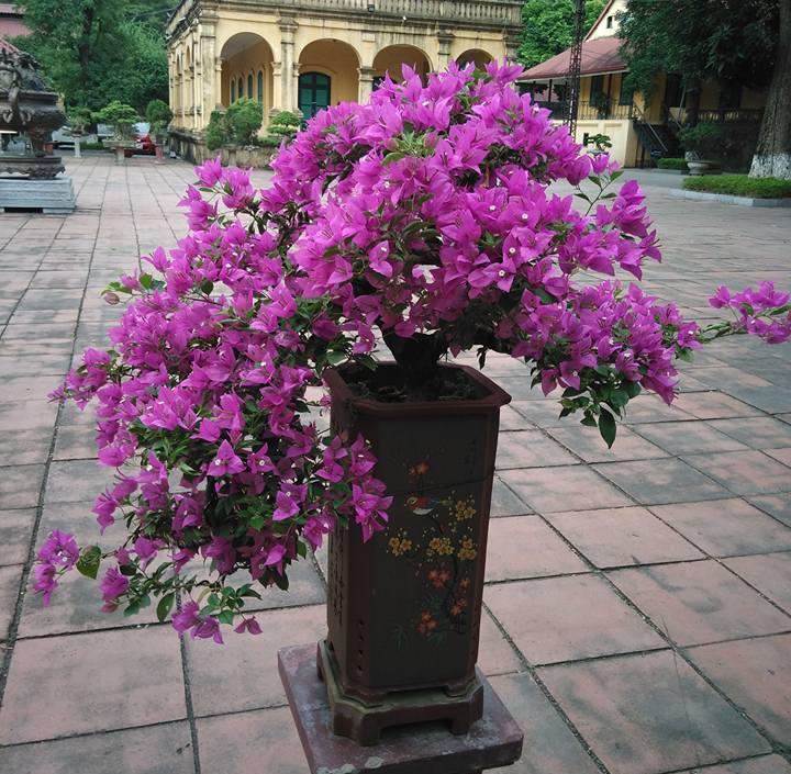 Kỹ thuật để Hoa Giấy ra hoa quanh năm