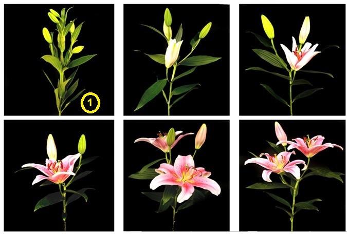 Kỹ thuật trồng hoa Lily trong chậu nở hoa vào dịp tết