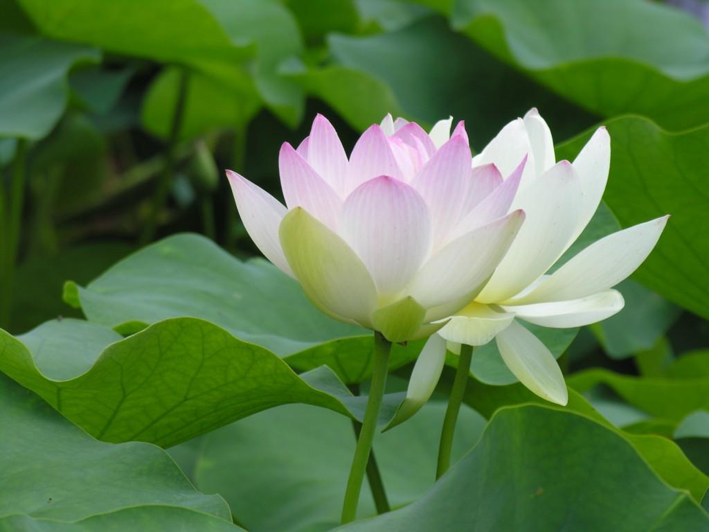 Kỹ thuật trồng và chăm hoa sen trắng vừa cho nhiều bông lại nở đẹp nhất