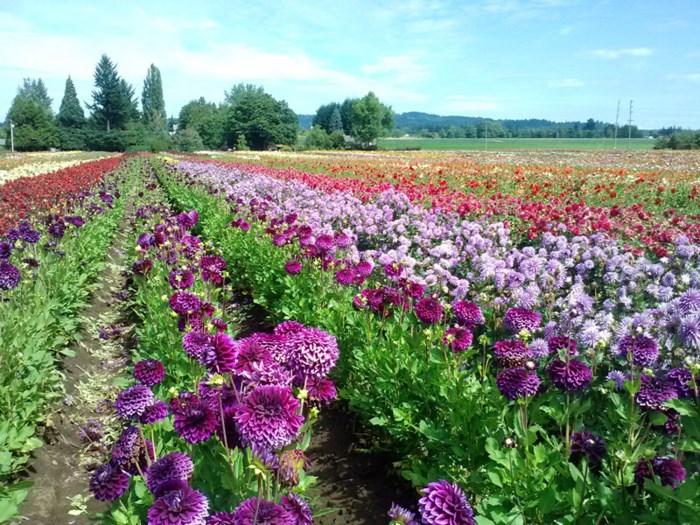 nhung luu y khi trong va cham soc hoa thuoc duoc trong chau 1 - Những lưu ý khi trồng và chăm sóc hoa Thược Dược trong chậu