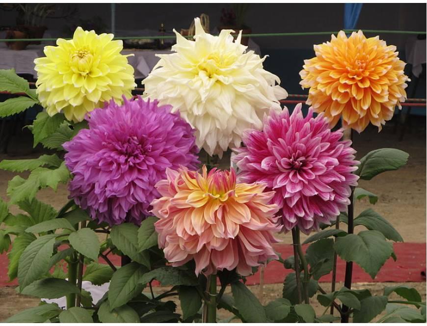 Những lưu ý khi trồng và chăm sóc hoa Thược Dược trong chậu