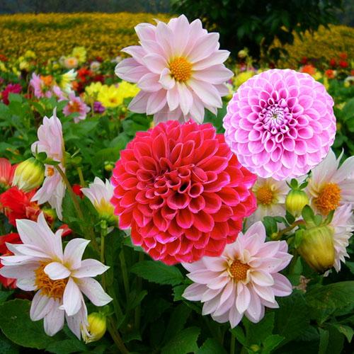 nhung luu y khi trong va cham soc hoa thuoc duoc trong chau - Những lưu ý khi trồng và chăm sóc hoa Thược Dược trong chậu